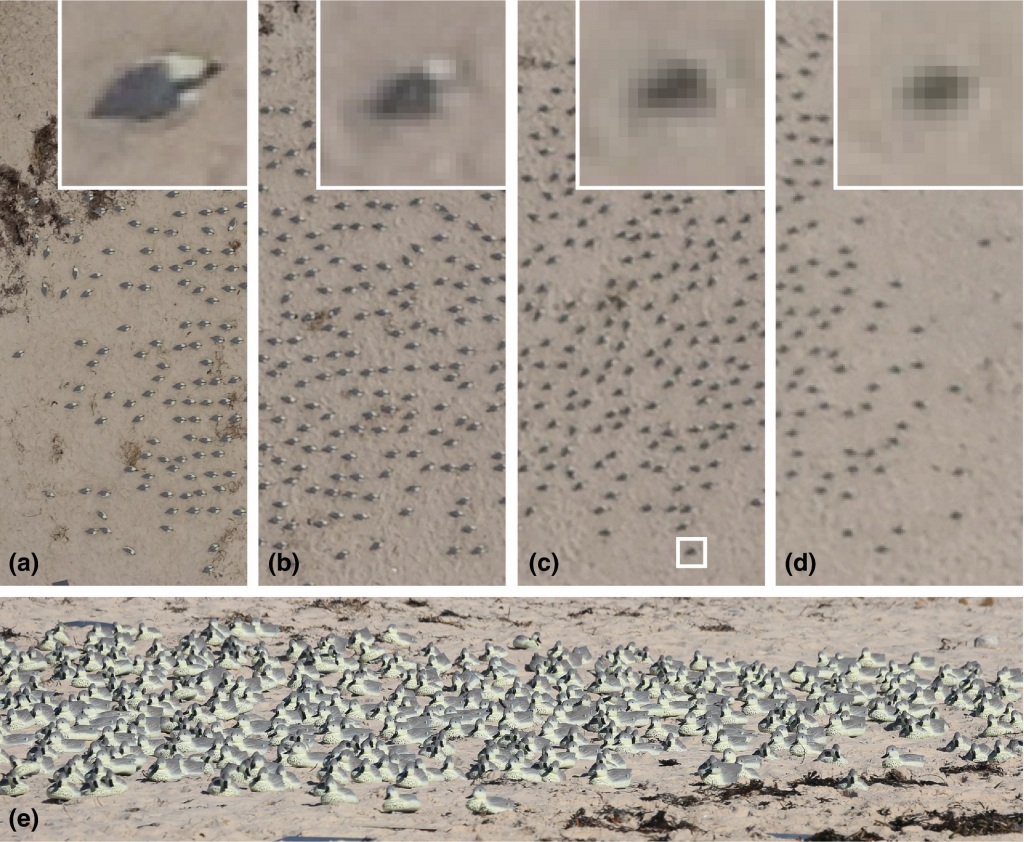Vue aérienne d'une réplique d'une colonie d'oiseaux de mer
